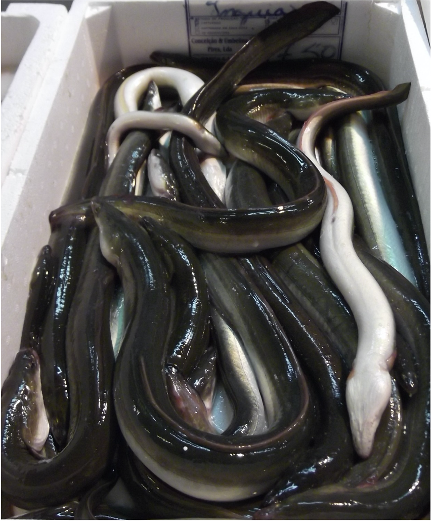 European eel at Lisbon market