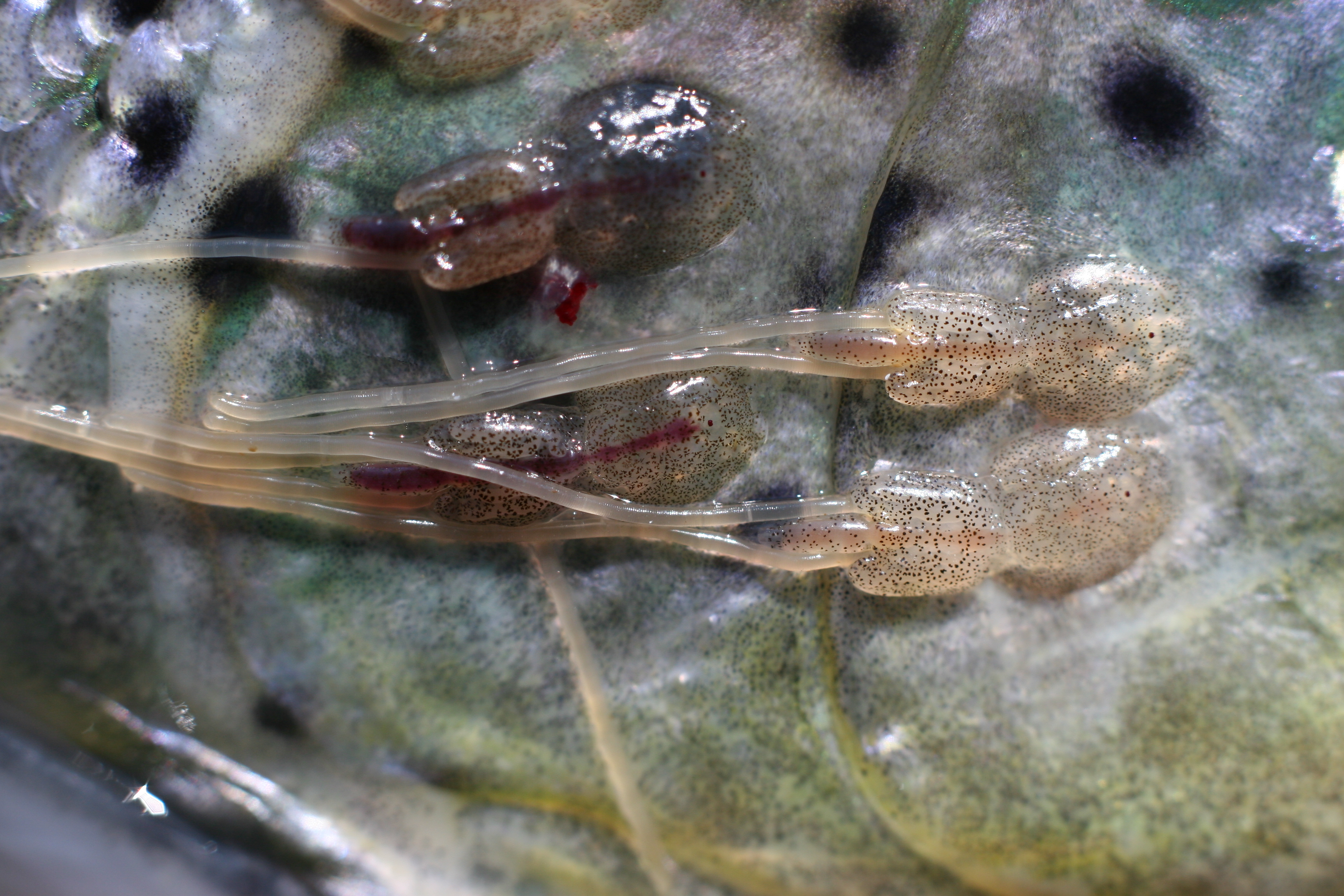 Picture of sea lice