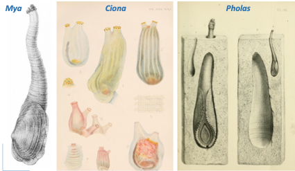 Images of May Ciona and Pholas